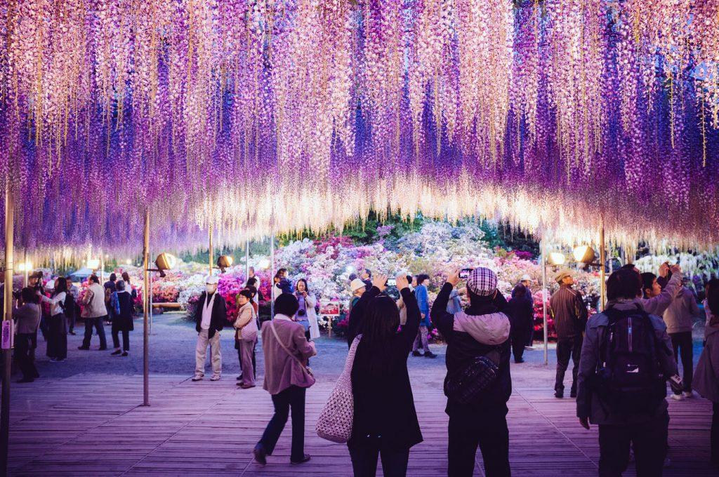 Ngắm hoa Tử Đằng ở Công viên Ashikaga