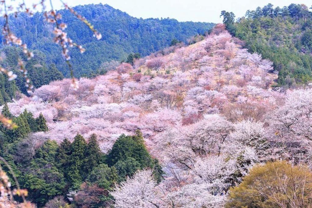 Sắc hồng rực rỡ vào tháng 4 trên núi Yoshino